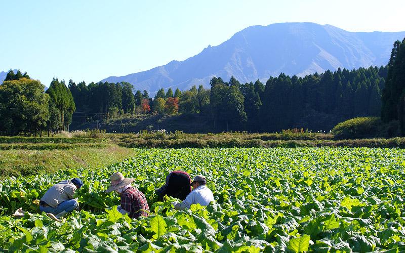 阿蘇山の麓に誠食品の高菜畑はある。