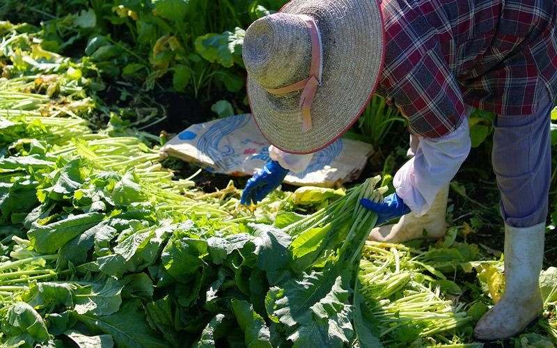 折った高菜は端を揃えてひとまとめにする。