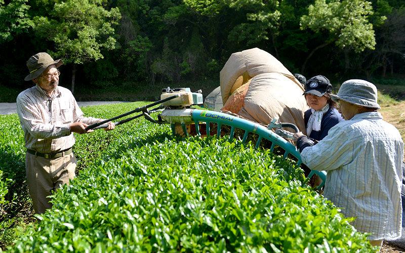 茶摘み機で片側ずつ茶葉を刈る