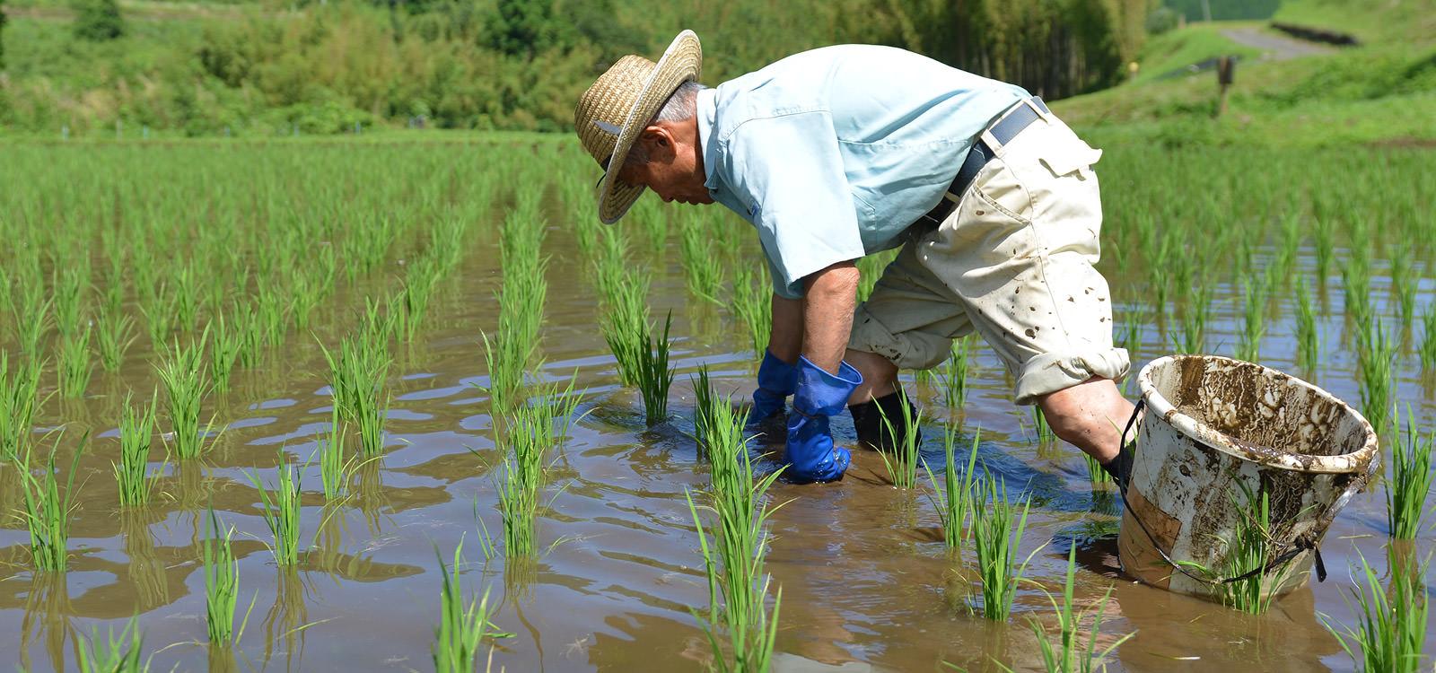 コナギを手除草で取り除く。