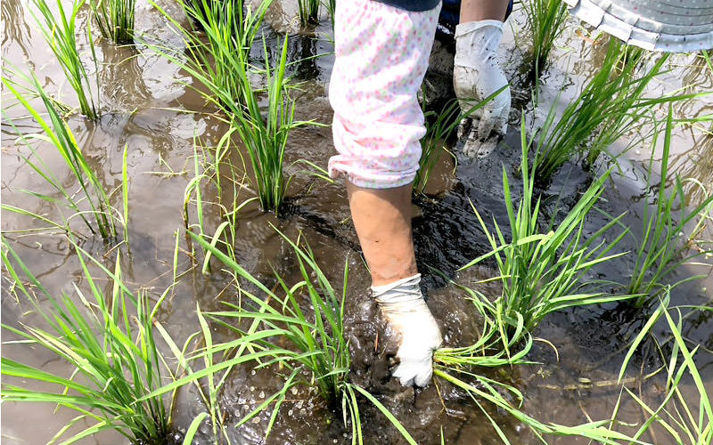 ある程度成長したヒエは稲と区別がつきづらい