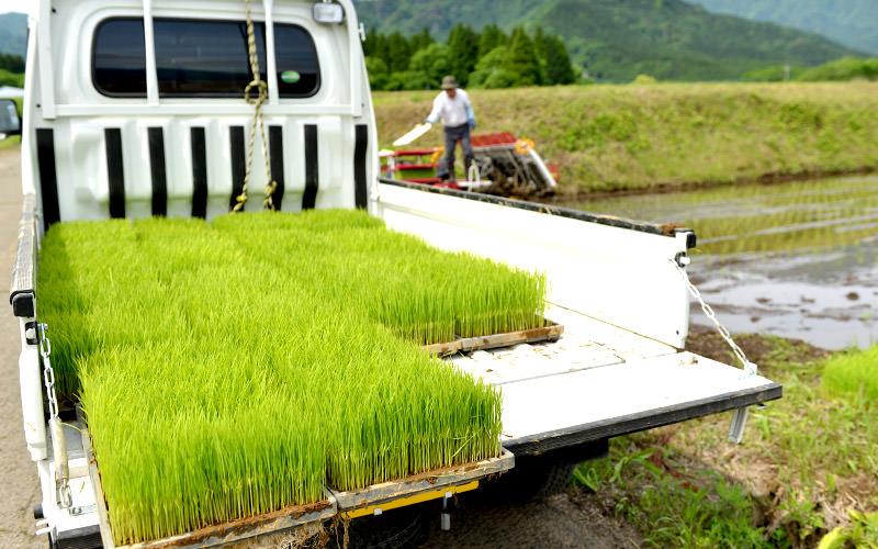 田植えを待つヒノヒカリの苗