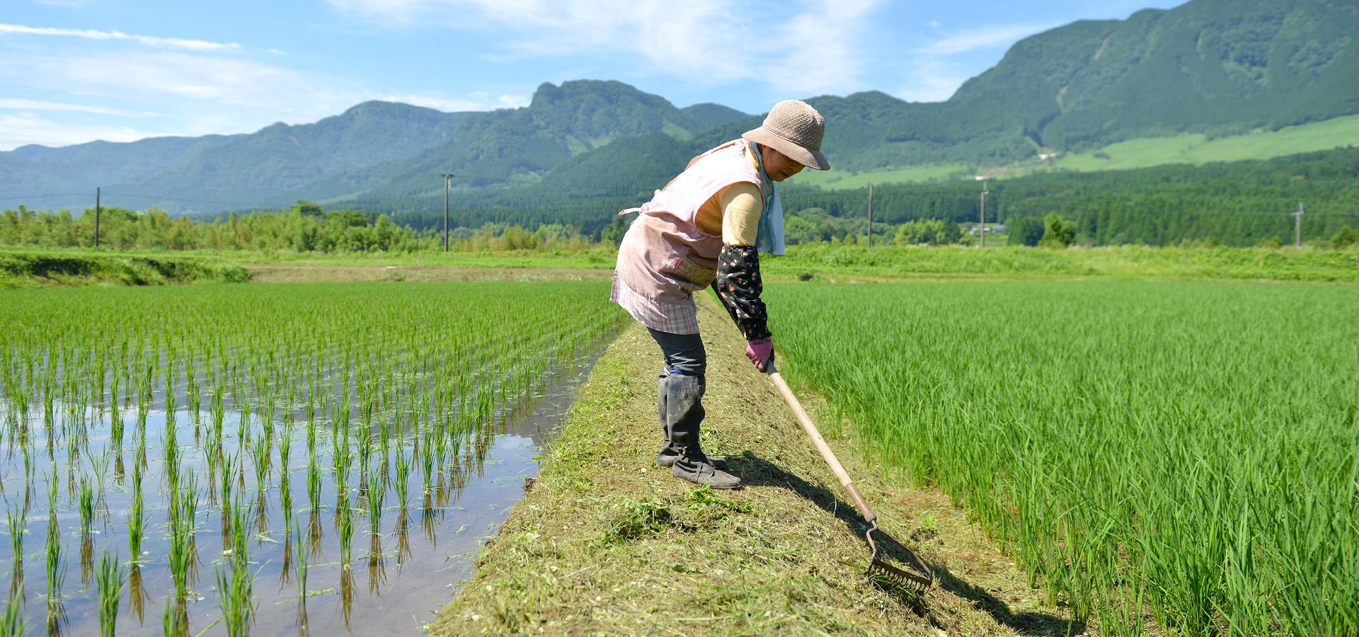 北野初子さんが作る、自然栽培ササニシキ