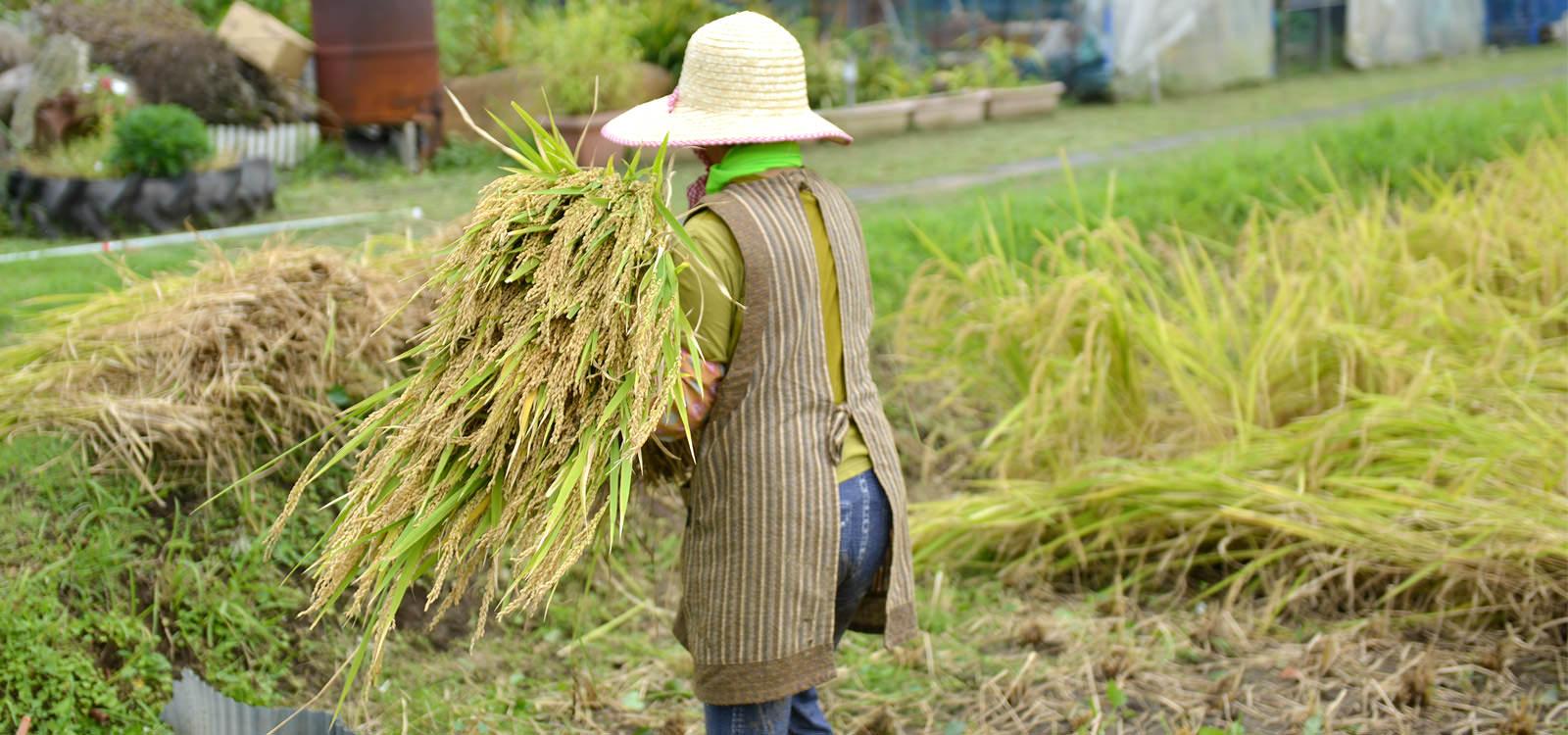 稲を運ぶ初子さん