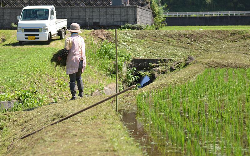 初子さんは畦の草刈りを行っていた