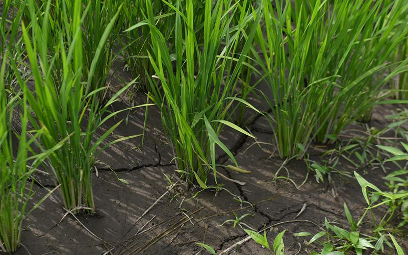 7月19日の稲