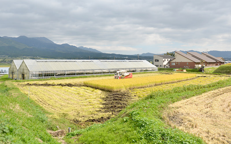 ハウス横の田んぼを稲刈り。