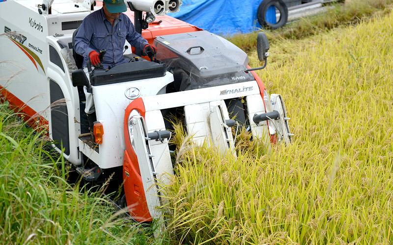 濡れた稲は負荷が強いがなんとか刈れる