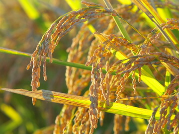 豊かな実りをつける稲