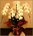 胡蝶蘭 5本立ち白