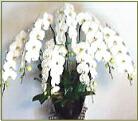 胡蝶蘭 7本立ち白