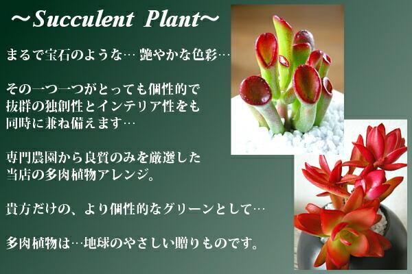 多肉植物・クラッスラアレンジ
