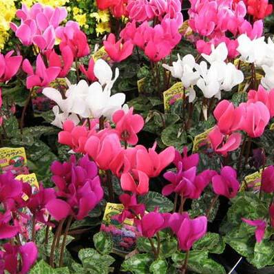 ガーデンシクラメン4株セット♪コンテナガーデンやプランター等によく合う花です【鉢花】/販売/通販/種類【ラッキーシール対応】