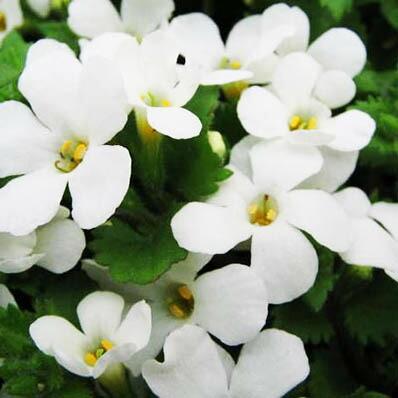 バコパ ホワイト 花苗 純白の大輪咲き 従来種より花が大きくハンギングや寄せ植えに 販売 通販 種類【ラッキーシール対応】