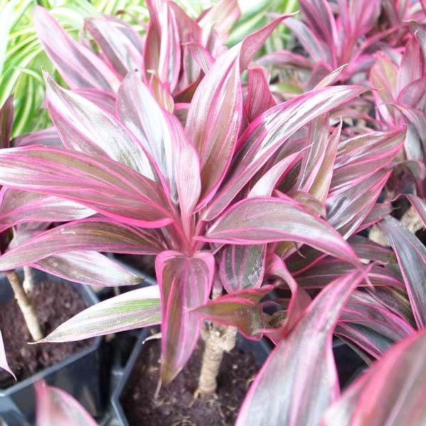 コルジリネ レッドエッジ 4号サイズ 鉢植え コルディリネ 色鮮やかな葉色が魅力の観葉植物 常緑低木 販売 通販 種類【ラッキーシール対応】
