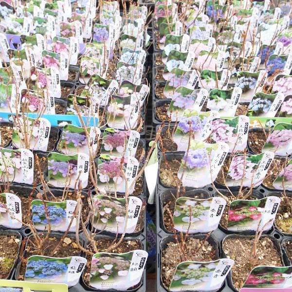 山あじさい苗 6株セット 芽が出始めたアジサイ 山紫陽花 販売 通販