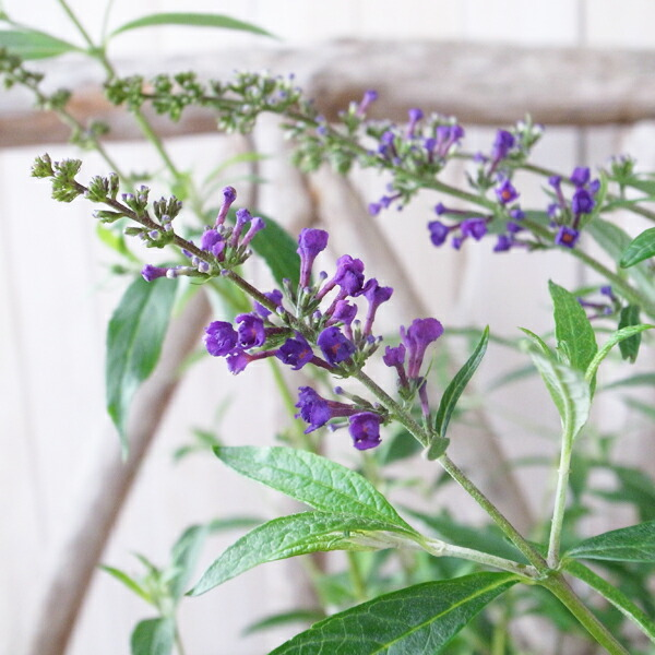 ブッドレア ブラックナイト 5号サイズ  花芽付 鉢植えで高さ40cm センチ 黒々した色濃い紫の円錐形の花穂が魅力の品種