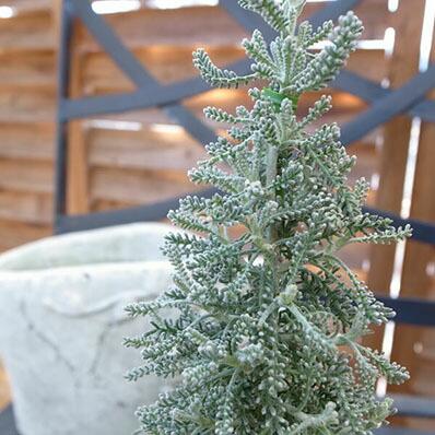 ミニチュアサントリナツリー苗♪ハーブ/クリスマスの寄せ植えに最適/シルバーに輝く葉色が魅力的/常緑低木/耐寒性に優れ冬期の寄せ植えに/販売/通販/種類【ラッキーシール対応】