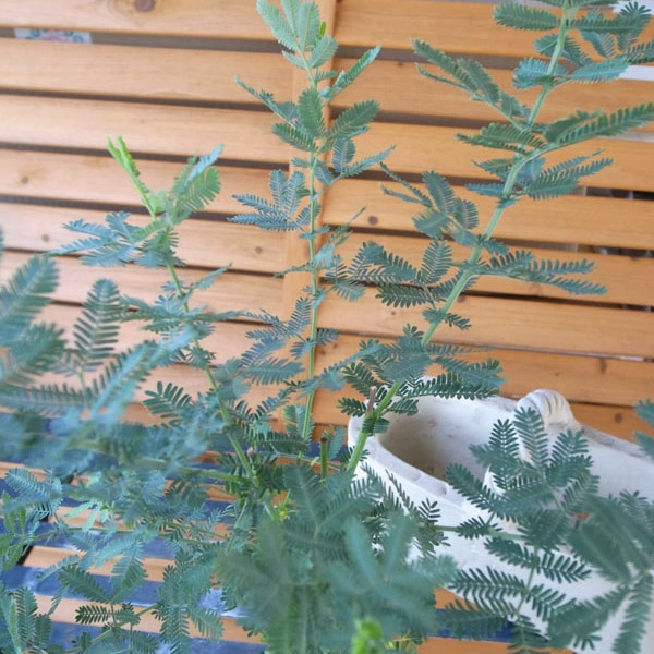 ミモザアカシア 大苗 きめ細かな葉が魅力で花付良い品種 常緑小高木 販売 通販 種類【ラッキーシール対応】