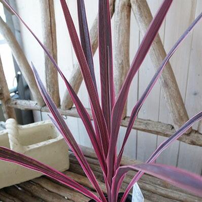 希少種コルジリネ ピンクパッション苗 カラフルな斑入り葉が魅力 センネンボク 高さ40cmセンチ 観葉植物【ラッキーシール対応】