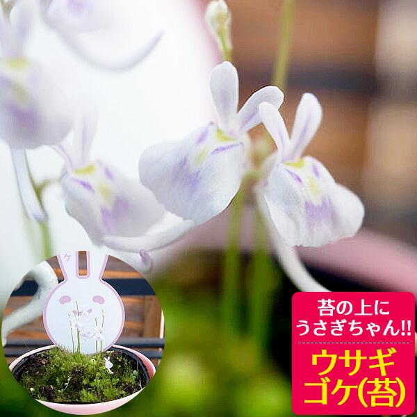 ウサギゴケ うさぎ苔 うさぎ こけ 苔 コケ ウサギコケ 食虫植物【ラッキーシール対応】