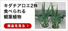キダチアロエ2株