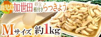 加世田らっきょう1kg
