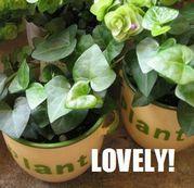 鉢植え フラワーギフト