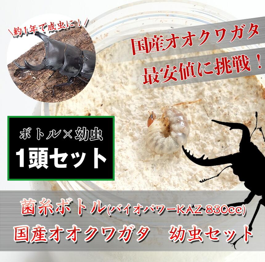 国産オオクワガタ 1令〜2令幼虫1頭+菌糸ボトルのセット
