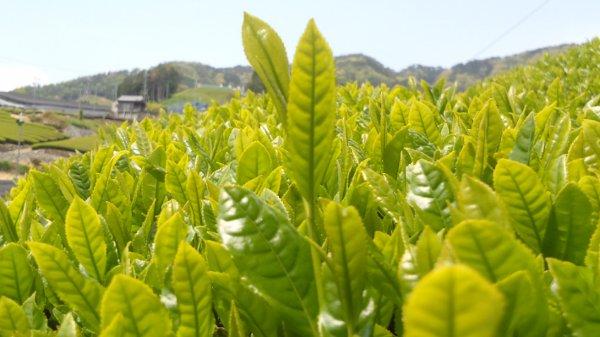 有機栽培茶の茶園