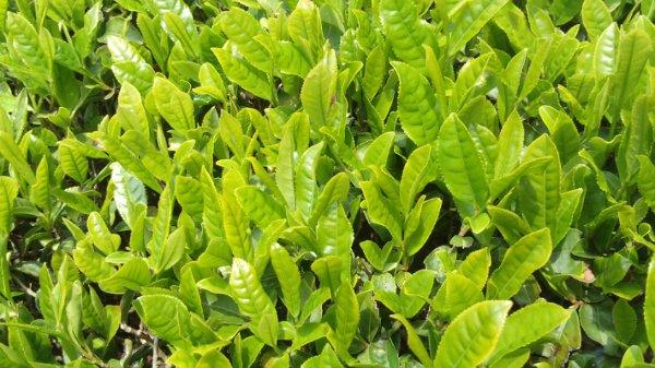 有機栽培の茶葉
