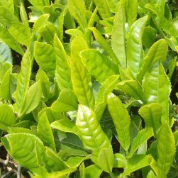 有機栽培茶の新芽