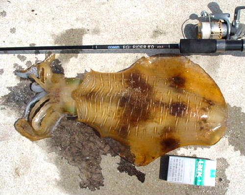 2008/5 アオリ2.0kg