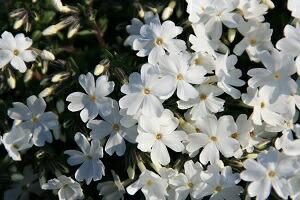 シバザクラ(芝桜)白 モンブラン 9cm