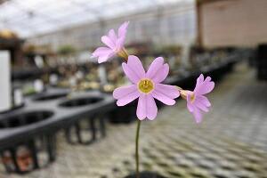 モモイロテシオコザクラ(桃色天塩小桜)7.5cm〜9cmポット