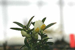 トキワヒメハギ・シロ(常盤姫萩・白花)6cm〜9cmポット