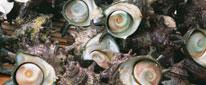 サザエ さざえ 貝類