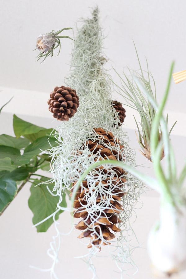 チランジア・ウスネオイデス / Tillandsia usneoides