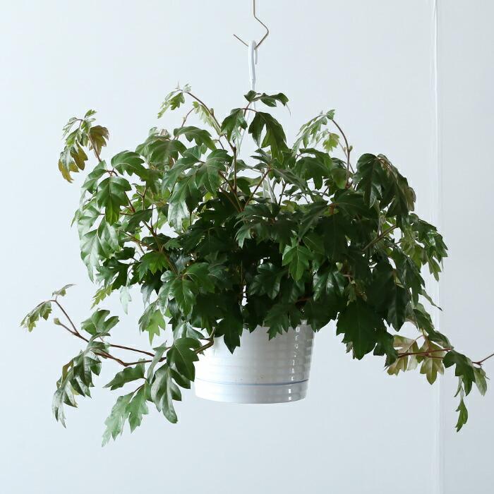 シッサス・エレンダニカ / Cissus rhombifolia 'Ellen Danica'