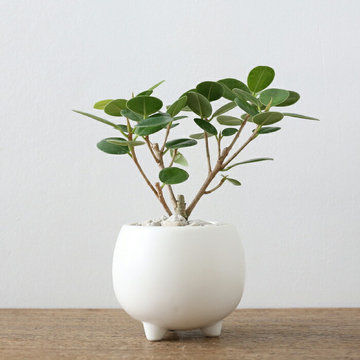 尖閣ガジュマル / Ficus ' Senkaku '