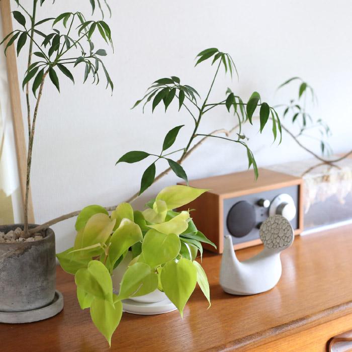 オキシカルジウム・ライム / Philodendron oxycardium ' lime '