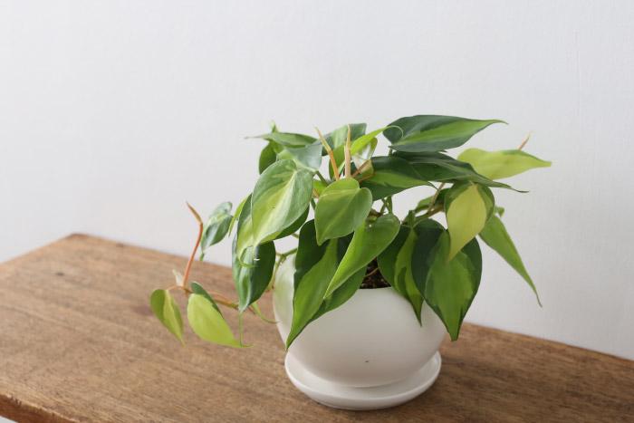 フィロデンドロン・ブラジル / Philodendron ' Brazil '