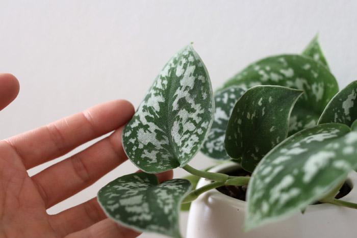 スキンダプサス・ピクタス ' アルギラエウス '(白斑蔓(シラフカズラ)) / Scindapsus pictus cv. ' Argyraeus '