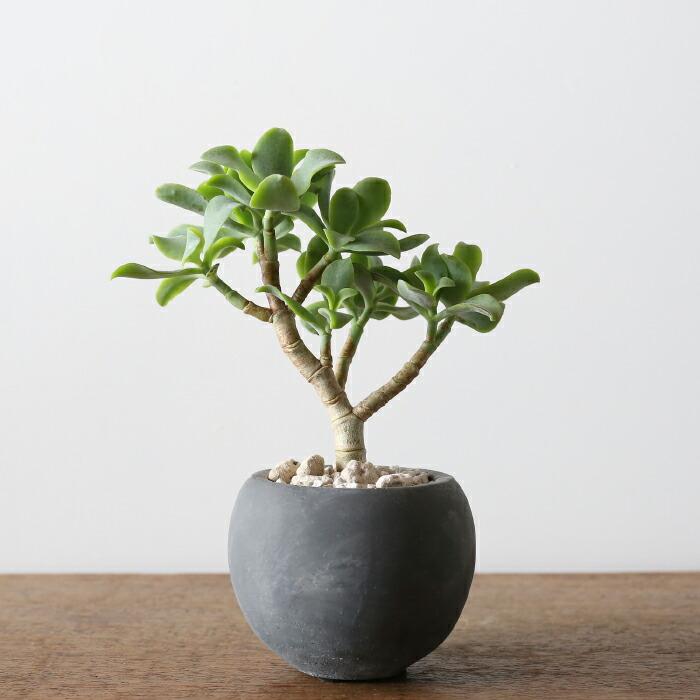 クラッスラ・ウンドゥラータ / Crassula undulata