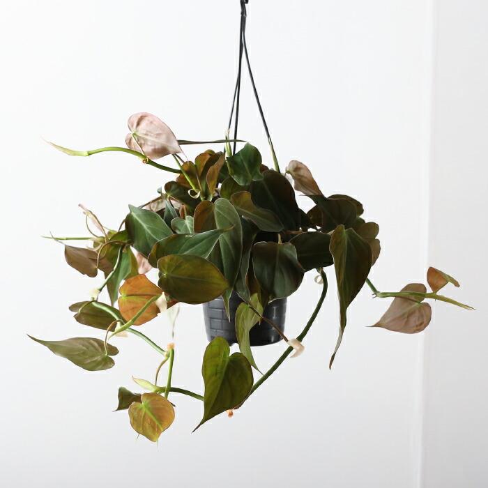 小葉ビロードカズラ・スタン / Pilodendron andreanum