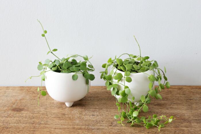 ディスキディア・ハートジュエリー / Dischidia formosana