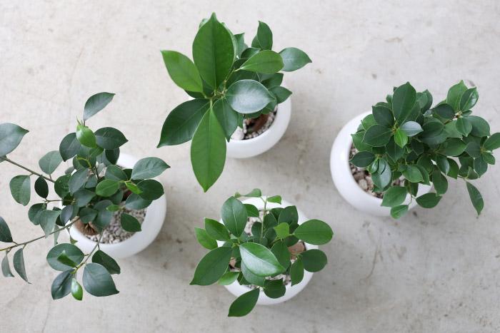 ガジュマル / Ficus microcarpa