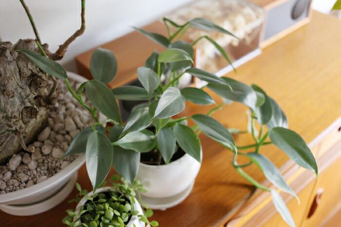 フィロデンドロン・インベ ' シルバーメタル ' / Philodendron hastatum