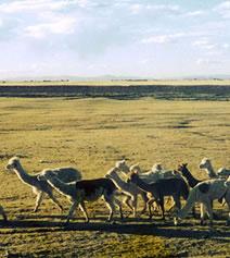 ペルーの草原