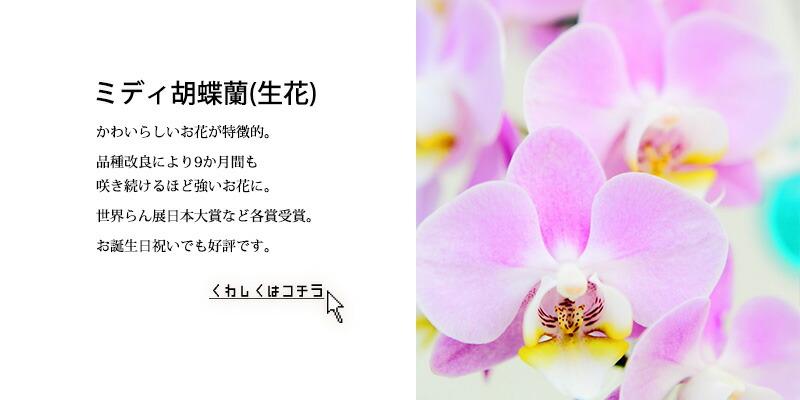 ミディ胡蝶蘭